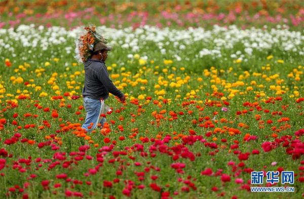 美国加利福尼亚州卡尔斯巴德花田:鲜花盛开迎游客